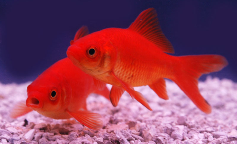 Poisson rouge etangs d 39 occitanie for Poisson koi aquarium