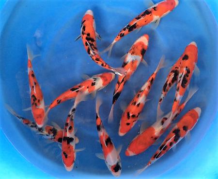 La pisciculture les etangs d occitanie poissons d eau froide for Carpe koi croissance